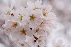 images 桜